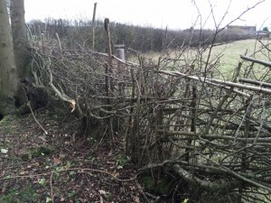 hedge laid on the edge of a wood