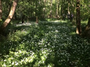 wild garlic in woodland