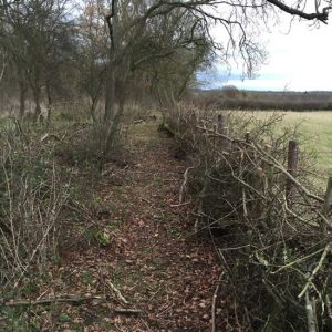 laid hedge in woodland